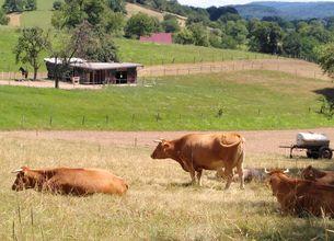 Kühe mit Hörnern grasen auf eine Weide bei Mittershausen.