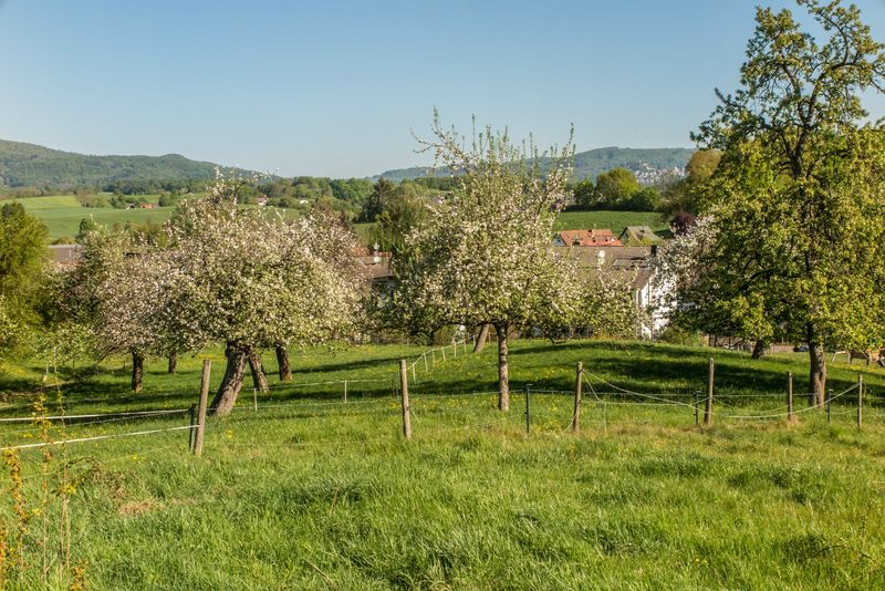 Diese Streuobstwiese in Fahrenbach mit herrlichen alten Obstbäumen soll nach den Vorstellungen des Fürther Bürgermeisters der Wohnbebauung weichen