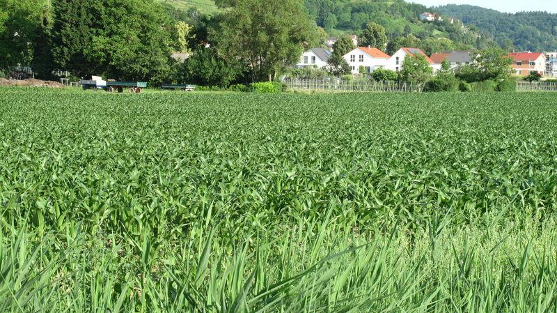 Maisacker nördlich von Heppenheim