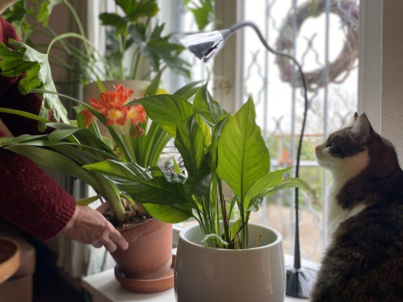 Zierpflanzen am Fenster, rechts eine Katze