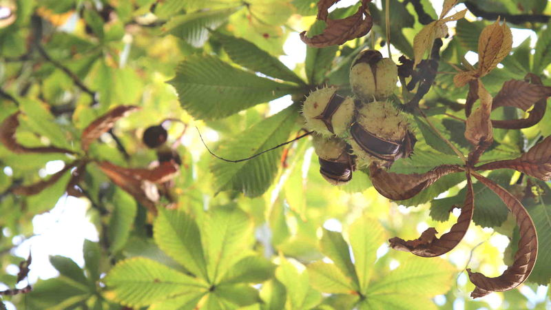 Rosskastanien hängen im Baum.