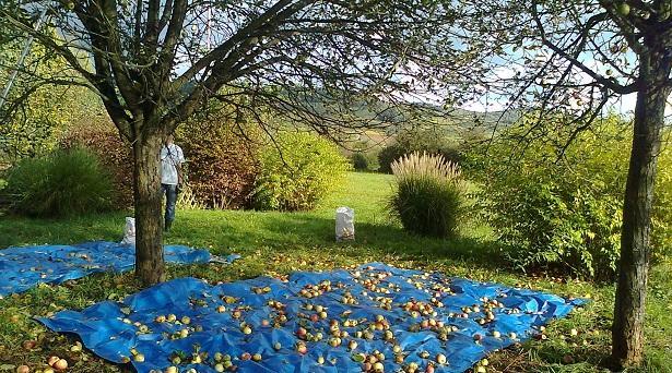 Apfelernte auf der Bruchseewiese